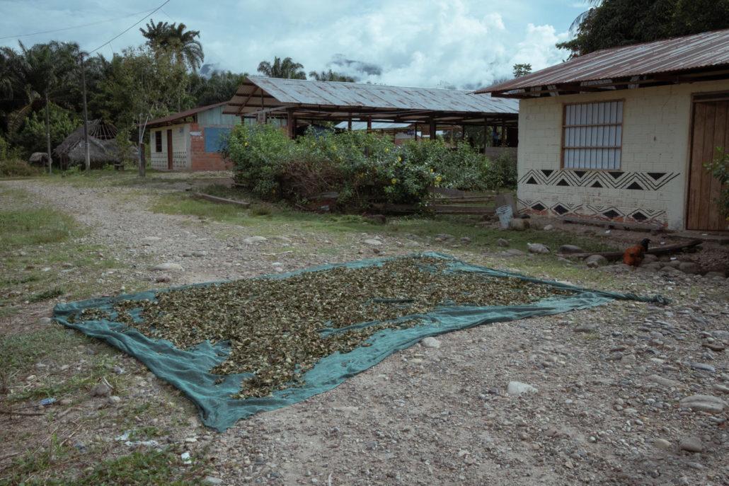 Dans le village de Yamino, région d'Ucayali, au Pérou, le 6 mai 2021. La production de feuilles de coca est issue d'une longue tradition autochtone. Avant l'apogée du trafic de drogue, sa consommation était associée aux rituels amérindiens, à la santé et au travail agricole.